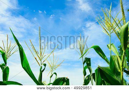 Corn Flower And Blue Sky