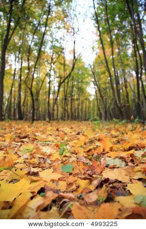 Yellow Leaves On Earth In Park