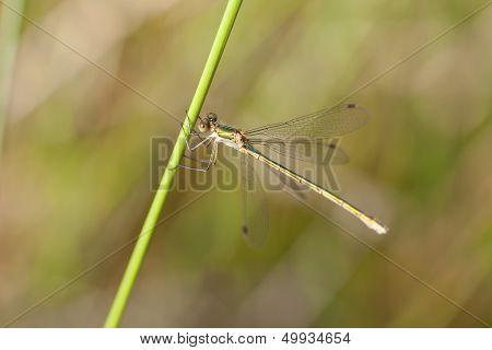 Emerald Damselfly - Lestidae