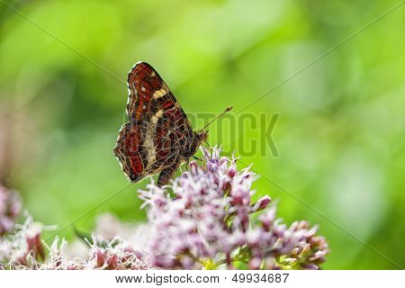 Map Butterfly - Araschnia levana