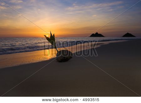 A Sprouting Coconut On The Seashore At Sunrise