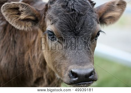 A week old shorthorn cross calf.