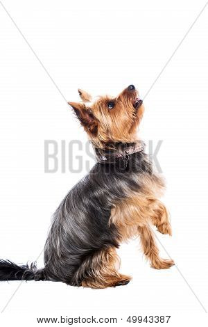 Little Yorkshire Terrier Waiting For Food