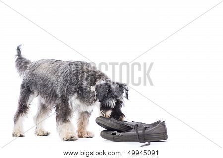 Schnauzer Investigating An Old Pair Of Shoes