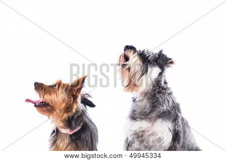 Two Dogs Looking Up Into The Air