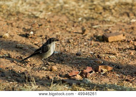 Fiscal Flycatcher - Sigelus Silens