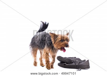 Obedient Little Yorkshire Terrier
