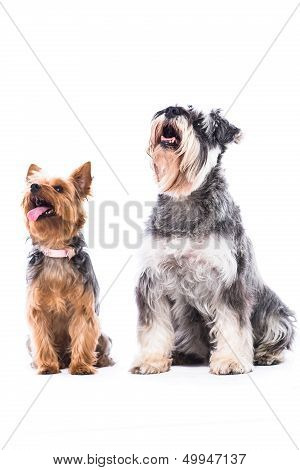 Yorkie And Schnauzer Looking At Blank Copyspace