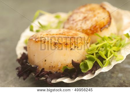 Delicious pan seared sea scallop with lettuce and pea shoots served on a scallop shell