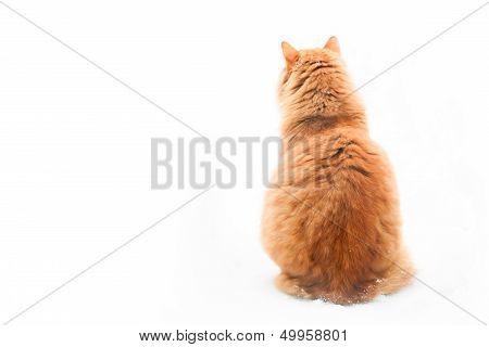 Orange Tabby Cat Sitting On White Background