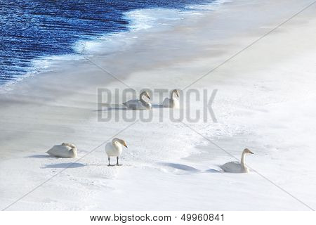 Five Swans In Snow At Water's Edge