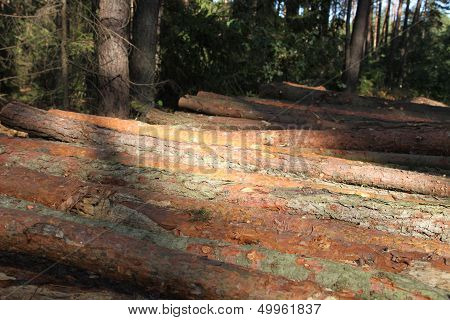 Sawn wood in forest