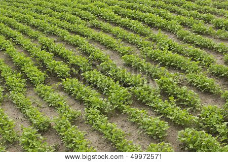 Crops Of Mustard As A Green Manure In The Garden