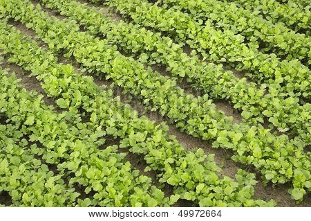 Mustard As A Green Manure In Summer