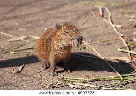 Little capybara