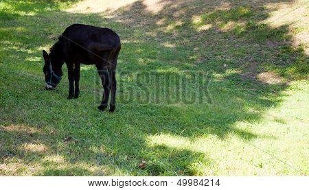 Brown Donkey grazing
