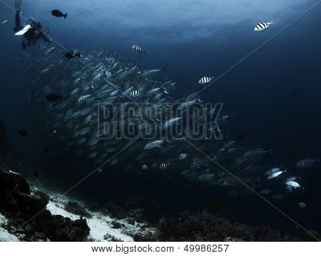 Scuba diver finning by huge school of Jack fish swirling underwater