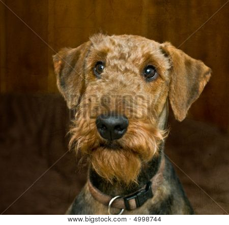 Airedale Terrier Dog looking guilty