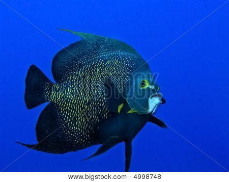 Queen Angelfish Swimming In Open Blue Water