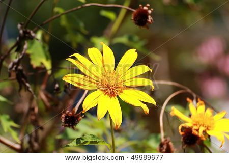 Mexican Sunflower Weed,
