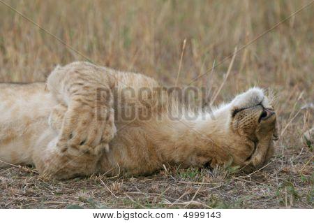 Lion Cub Being Cute