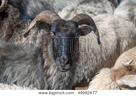 Moorland Sheep,Lueneburg Heath,Germany