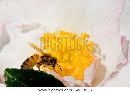 Bee Feasting On Pollen