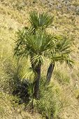 stock photo of humiliation  - Chamaerops humilis wild plant - JPG