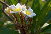 foto of champa  - Frangipani in thai Forest - JPG