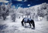 picture of irs  - IR photo of a scene with two horses at the farm - JPG