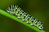 stock photo of larva  - This is a  black swallowtail larva on cilantro - JPG