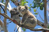 stock photo of koalas  - Wild Koalas along Great Ocean Road, Victoria, Australia