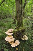 pic of bracket-fungus  - Dryad - JPG