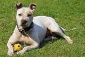 stock photo of pitbull  - White pitbull on green grass with a toy - JPG