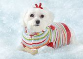 foto of fluffy puppy  - A small fluffy white dog wearing a cosy knitted striped sweater lays in icy snow - JPG