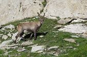 Little Alpine Ibex
