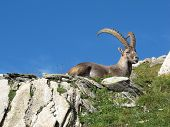 Alpine Ibex Having A Rest