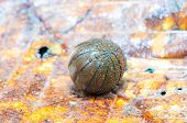 stock photo of millipede  - Pill millipede is rolling into ball form in rainforest - JPG