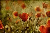 picture of opium  - Vintage photo of poppies in the sunset - JPG