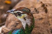 pic of female peacock  - Close - JPG