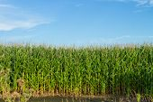 stock photo of corn stalk  - Corn stalks and tassels in a cornfield - JPG