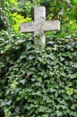 stock photo of memento  - Stone cross covered by Ivy at old cemetary - JPG