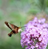 Common Clearwing Sphinx Moth Or Hummingbird Moth