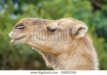 Arabian Camel