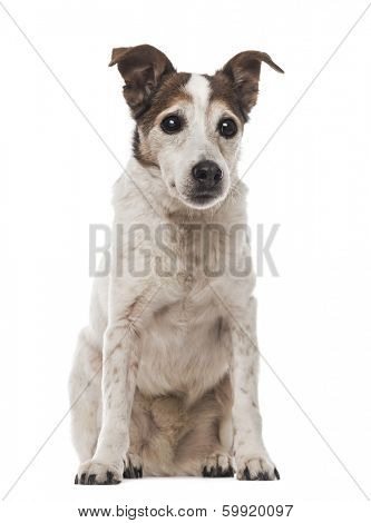 Old Jack Russell Terrier sitting, facing, 17 years old, isolated on white