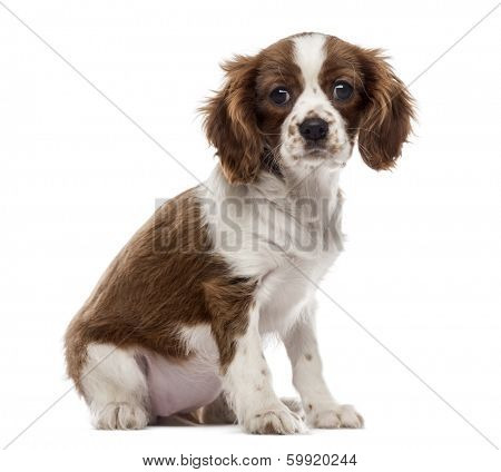 Cavalier King Charles Spaniel puppy sitting, looking at the camera, 3 months old, isolated on white