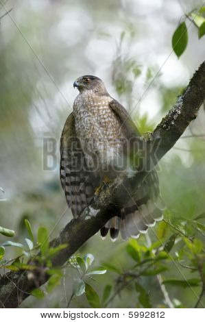 Coopers Hawk, Accipiter Cooperii