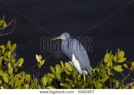 Egretta Tricolored, Louisiana Heron, Tricolored Heron