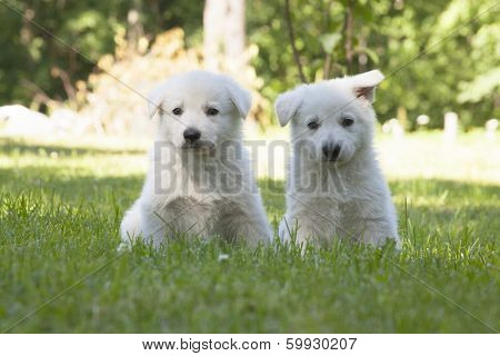 Two White Swiss Shepherds Puppies