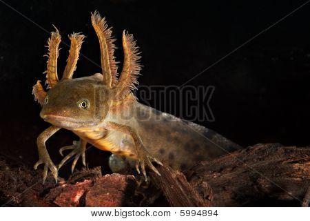 Crested Newt Larva